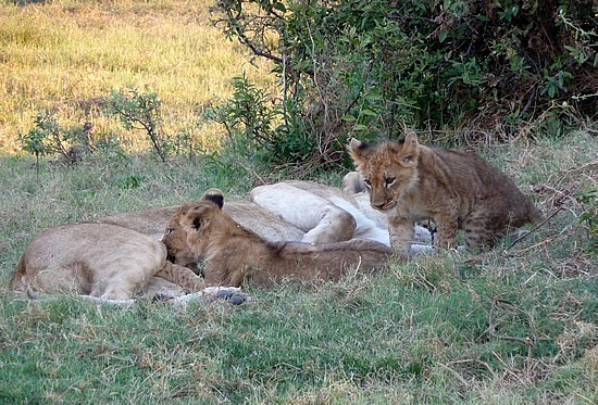 1.1287011955.lion-cubs-feeding