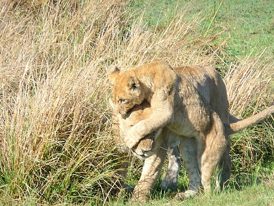 1.1287011955.momma-lion-and-cub-playing