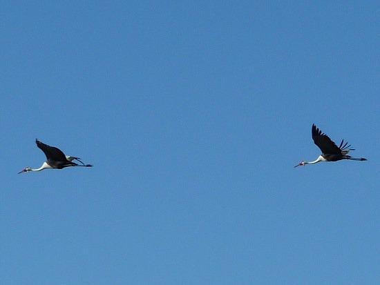 1.1287011955.wattled-cranes-in-flight