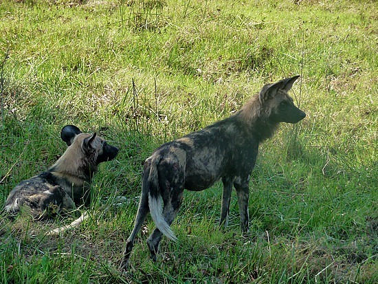 1.1287616771.wild-dogs-on-the-lookout