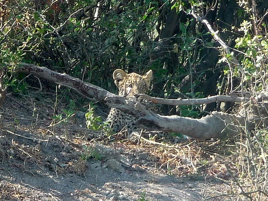 1.1287616771.young-leopard-cub
