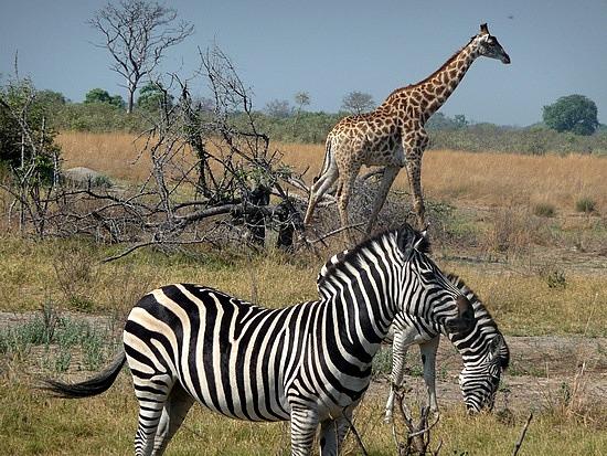 1.1287616771.zebra-and-giraffe