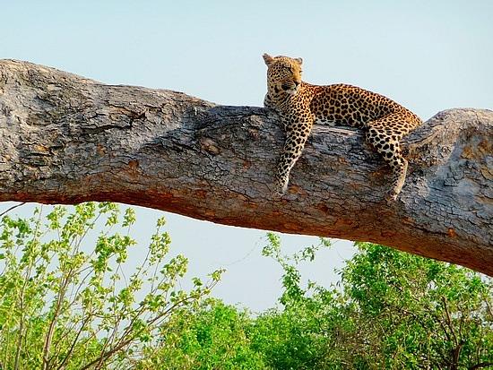 1.1287643010.female-invade-leopard-in-a-tree