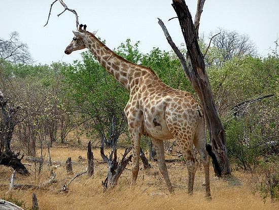 1.1287643010.giraffe