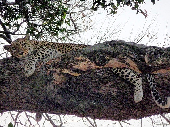1.1287643010.leopard-in-a-tree-at-sunset