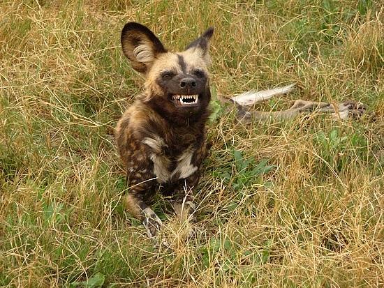 1.1287643010.wild-dog-baring-its-teeth