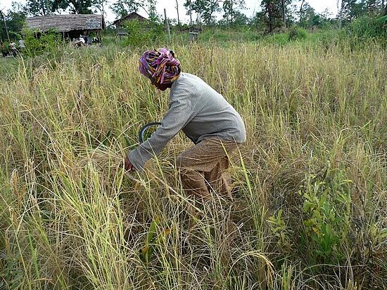 1.1289777125.villager-in-koh-ker-harvesting-rice