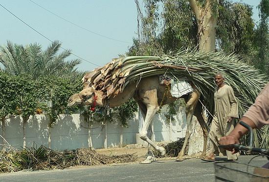 1.1286092562.camel-hauling-cane