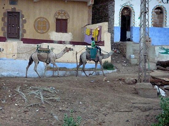 1.1286528294.camels-outside-the-nubian-village