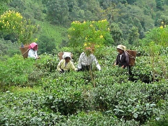 1.1288683822.picking-tea