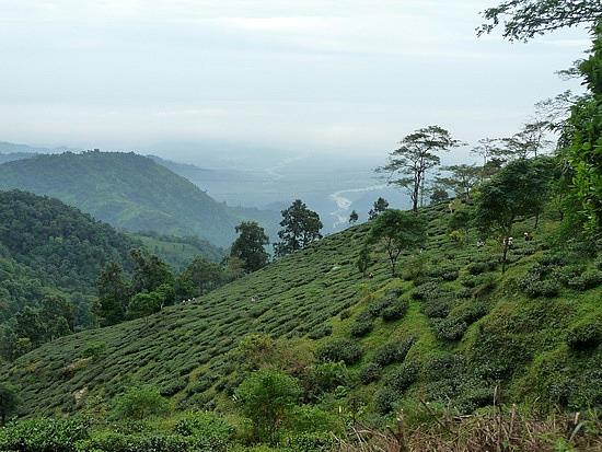 1.1288683822.tea-estate-outside-darjeeling