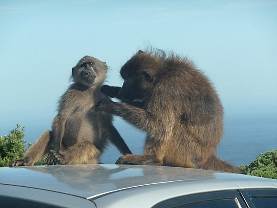 1.1286706617.baboons-on-cars-at-cape-point
