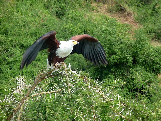 2.1318879677.african-fish-eagle