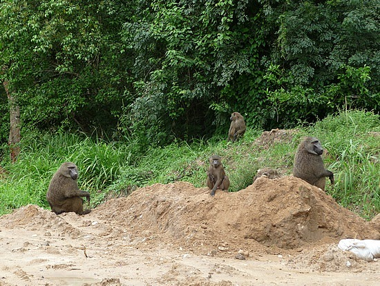 2.1319138980.baboons-on-the-road-to-bwindi