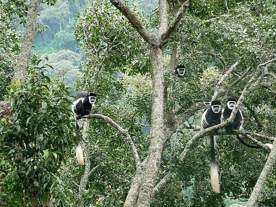 2.1319398215.1_black-white-colobus-monkeys-in-bwindi