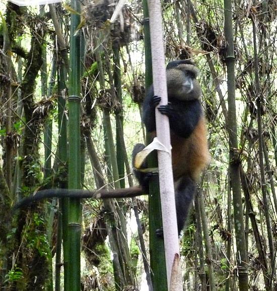 2.1319398215.a-golden-monkey