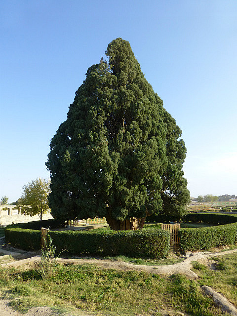 3.1350409556.4-000-year-old-cypress-tree