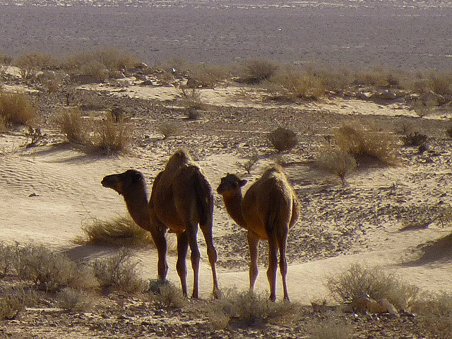 4.1381620375.camel-sightings