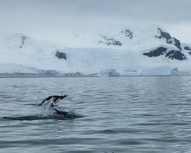 6.1424591583.flying-gentoo-penguin