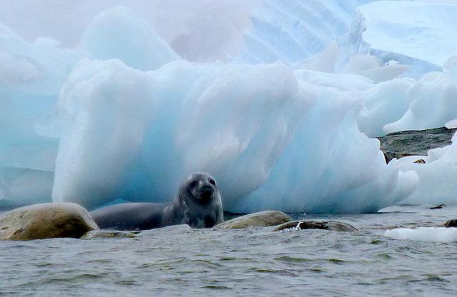 6.1424591583.fur-seal-at-danco-island