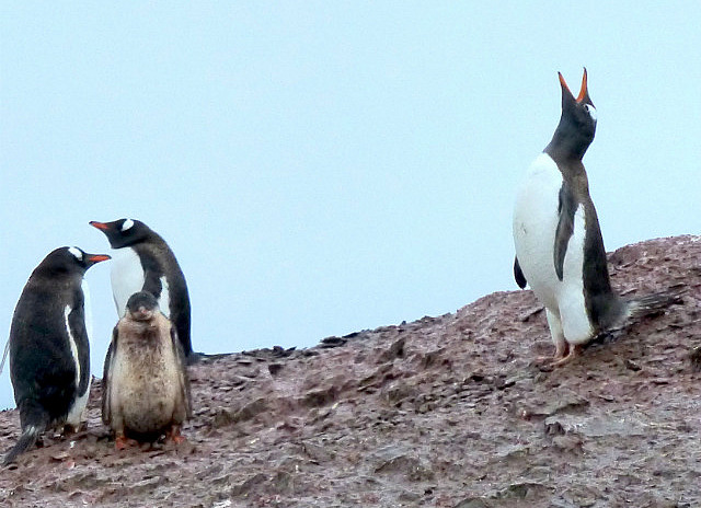 6.1424591583.gentoo-penguin-creating-a-fuss-at-danco-island