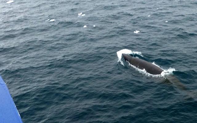 6.1424591583.minke-whale-by-ship