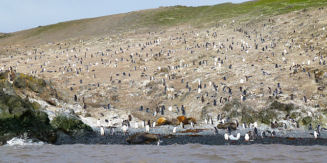 6.1424593041.gentoo-and-chinstrap-penguins-hanna-point