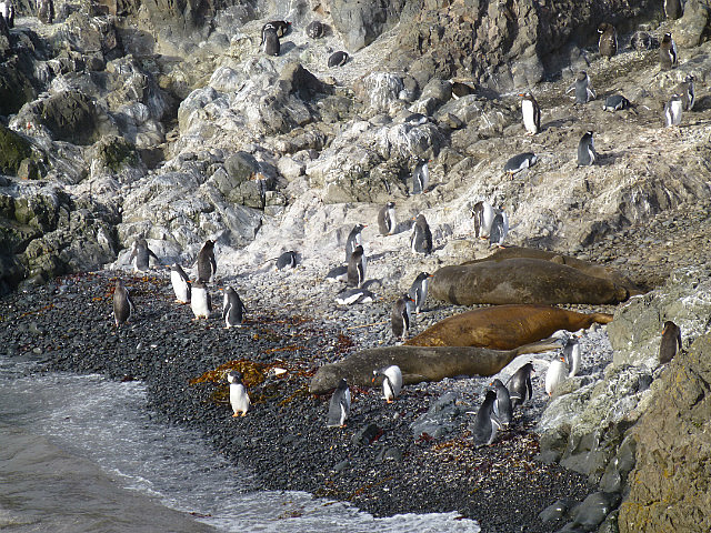6.1424593041.penguins-and-elephant-seals-at-hannah-point