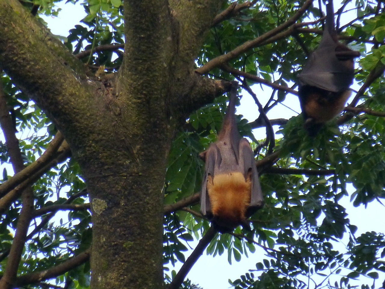 7.1477353600.fruit-bats-in-trees-at-dusk-in-sittwe