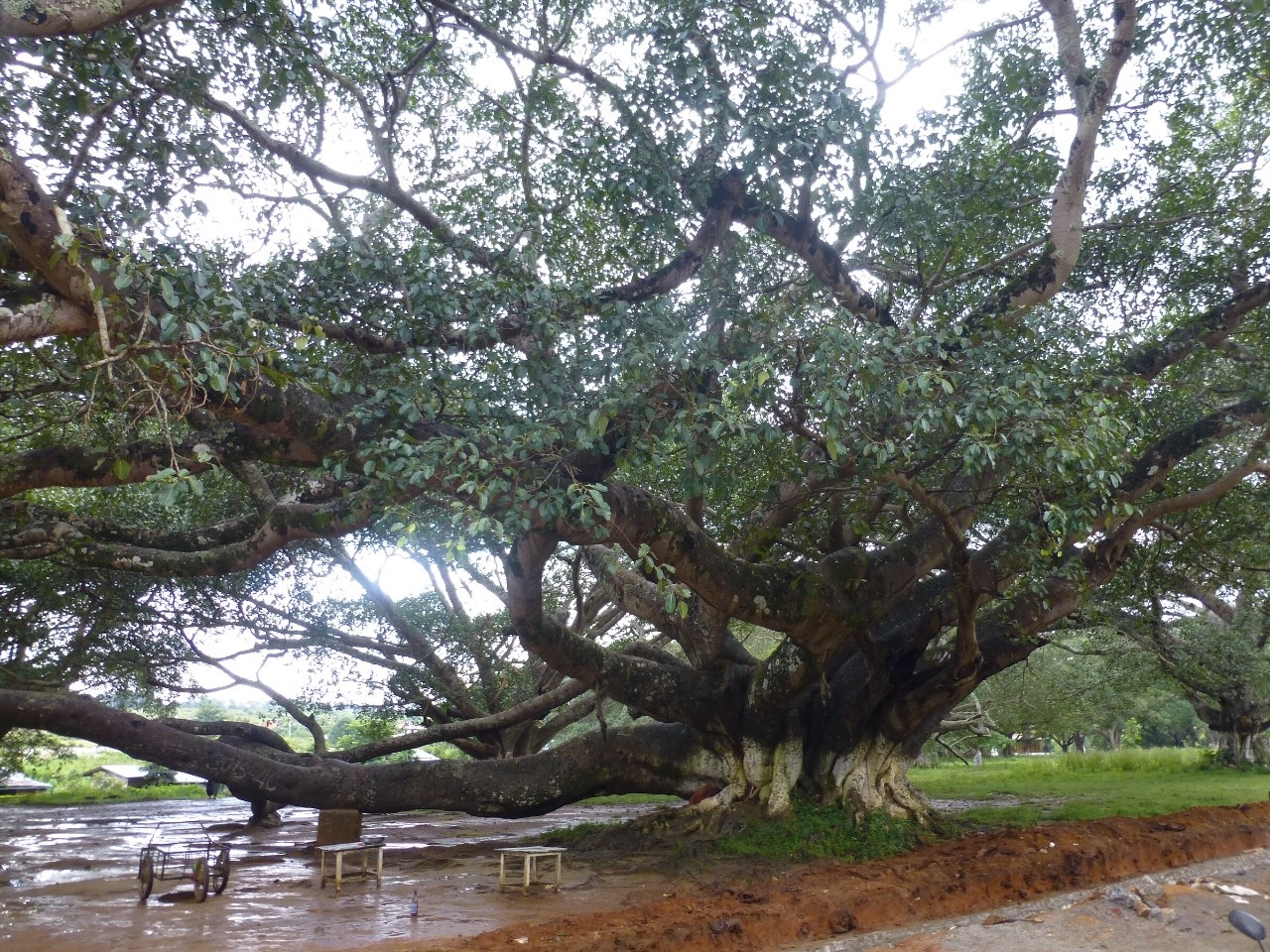 7.1478044800.100-plus-year-old-banyan-tree